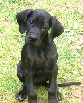 How I Taught A 4 Month Old Great Dane To Pee Outside