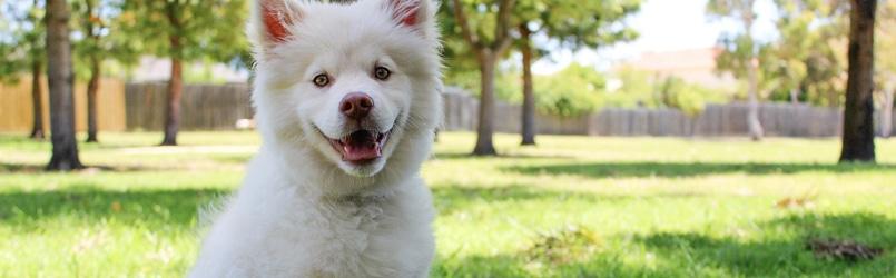 Canine Good Citizen Dog